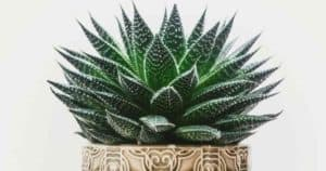 Succulent Haworthia Care: How To Grow The Pearl Plant