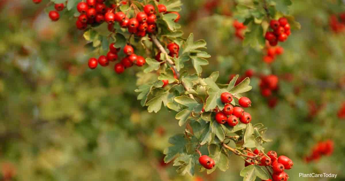 Red berries of the Hawthorn shrub