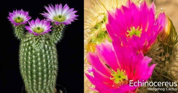 flowering Hedgehog Echinocereus cactus