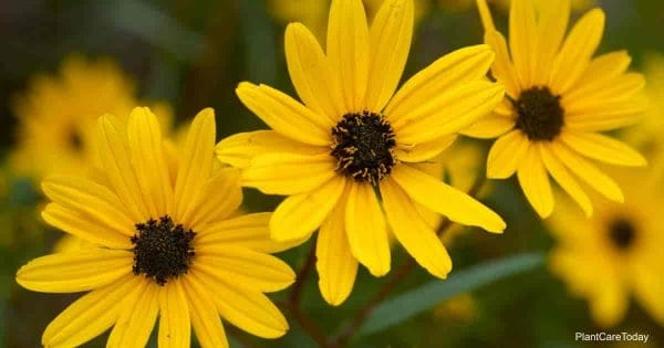 Flowering swamp sunflower