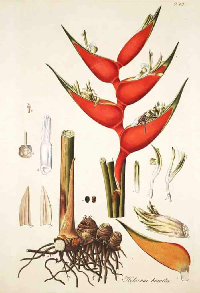 botanical drawing of heliconia rhizomes flowers and more