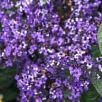 Fragrant Cherry pie heliotrope