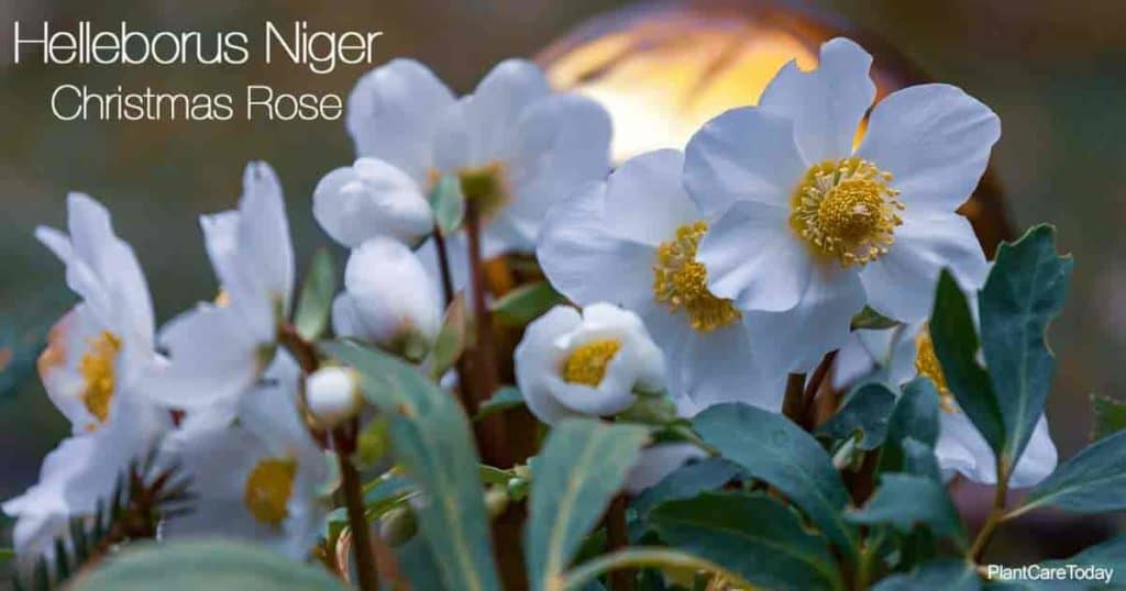 Blooming Christmas Rose (Helleborus Niger)