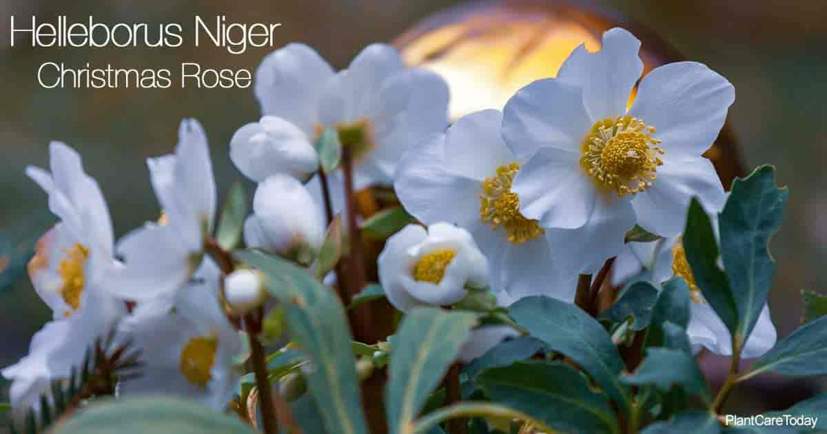 Flowering Christmas Rose (Helleborus Niger)