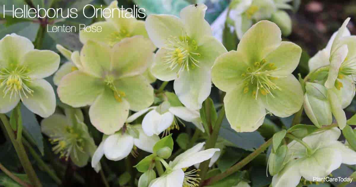 Attractive flowers of the Helleborus Orientalis - Lenten Rose Plant