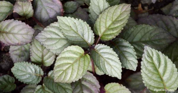 attractive foliage of the purple waffle plant aka Hemigraphis alternata