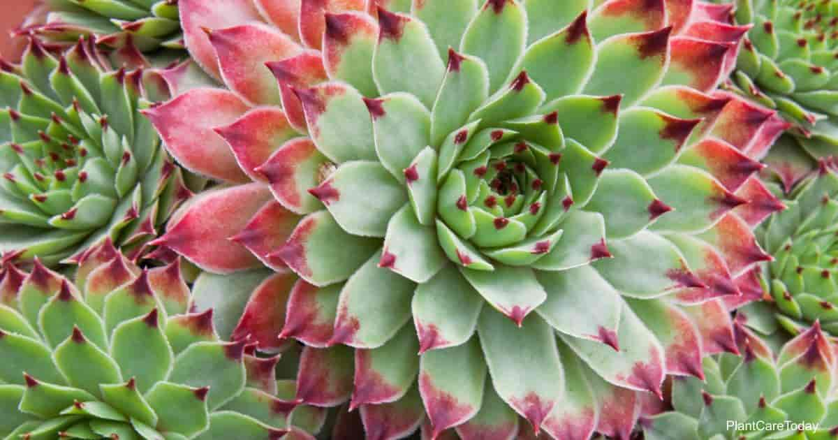 Popular indoor Hen And Chick Plant - Sempervivum