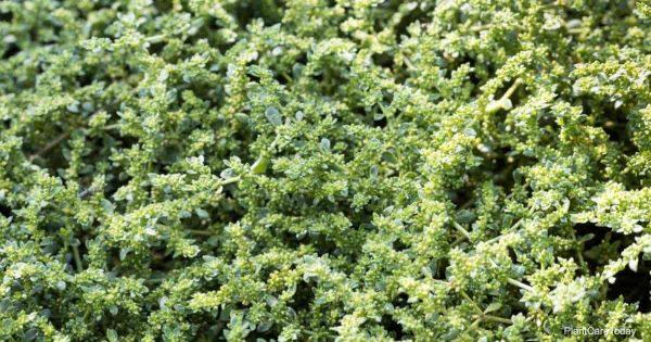 Herniaria glabra (Rupturewort Plant)