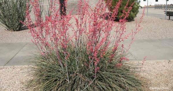 Blooming Hesperaloe parviflora