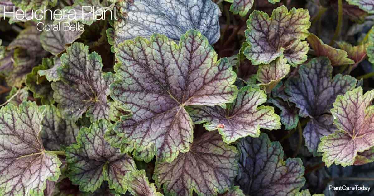 Attractive foliage of the Heuchera plant (Coral Bells)