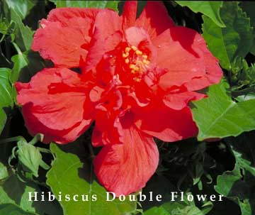 hibiscus-double-flower