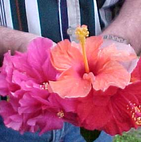hibiscus tree how to grow and care for a hibiscus plant, Beautiful flower