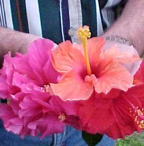 hibiscus-flowers-hand