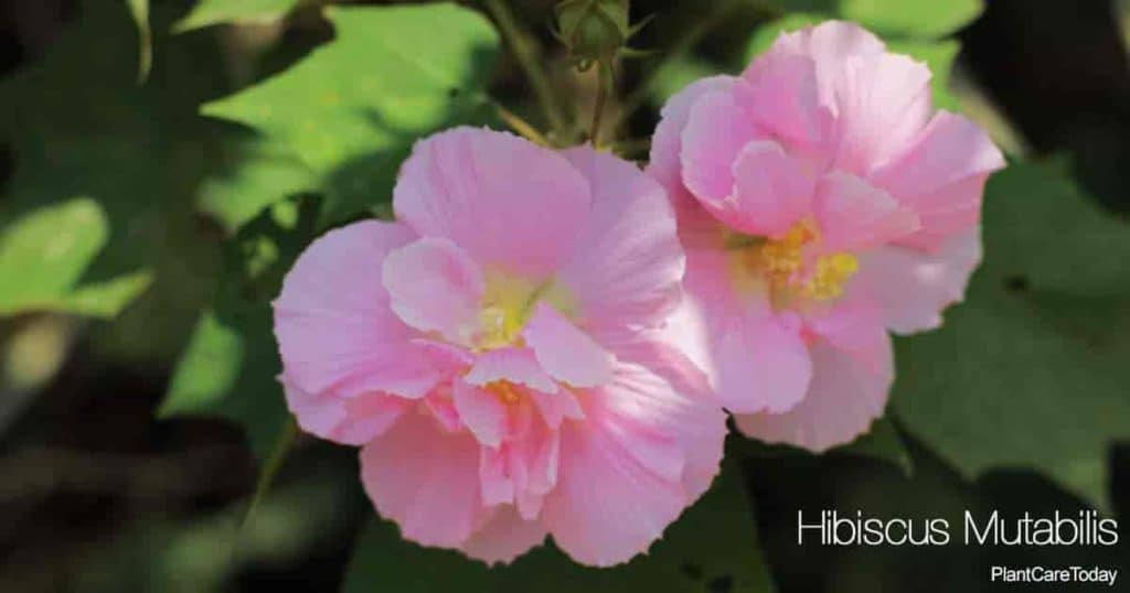 Blooming Hibiscus Mutabilis aka Confederate Rose