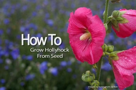 hollyhock-112113