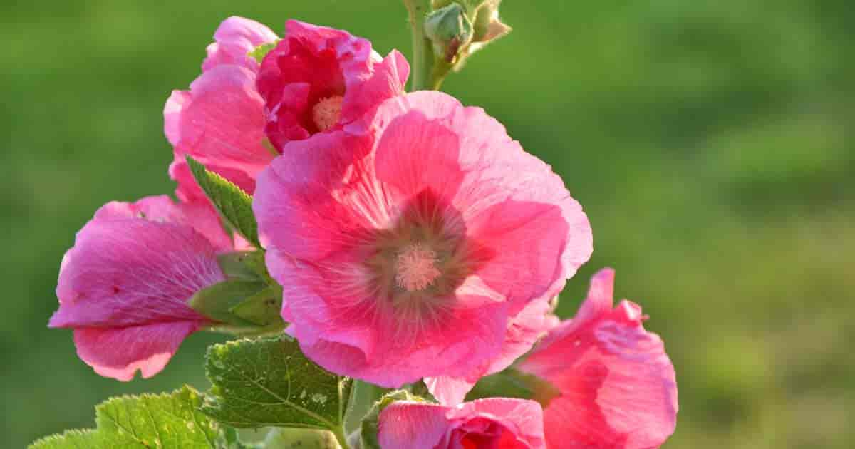 Pink flower of Alcea rosea (Hollyhock)
