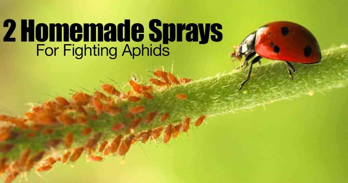 how to make garlic spray