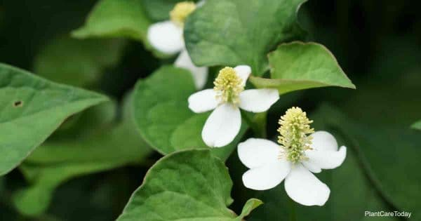 Flowering Houttuynia cordata (Chameleon plant)