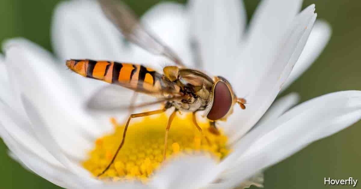 Adult Hoverfly feeding on Daisy