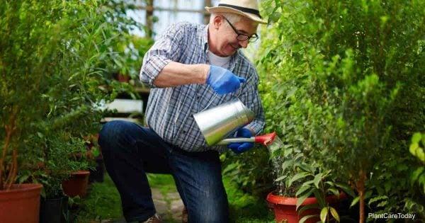 man using neem oil as a soil drench