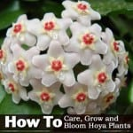 How To Care, Grow and Bloom Hoya Plants