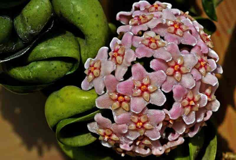 Hoya Plant Care Tips On Growing The Fragrant Wax Plant