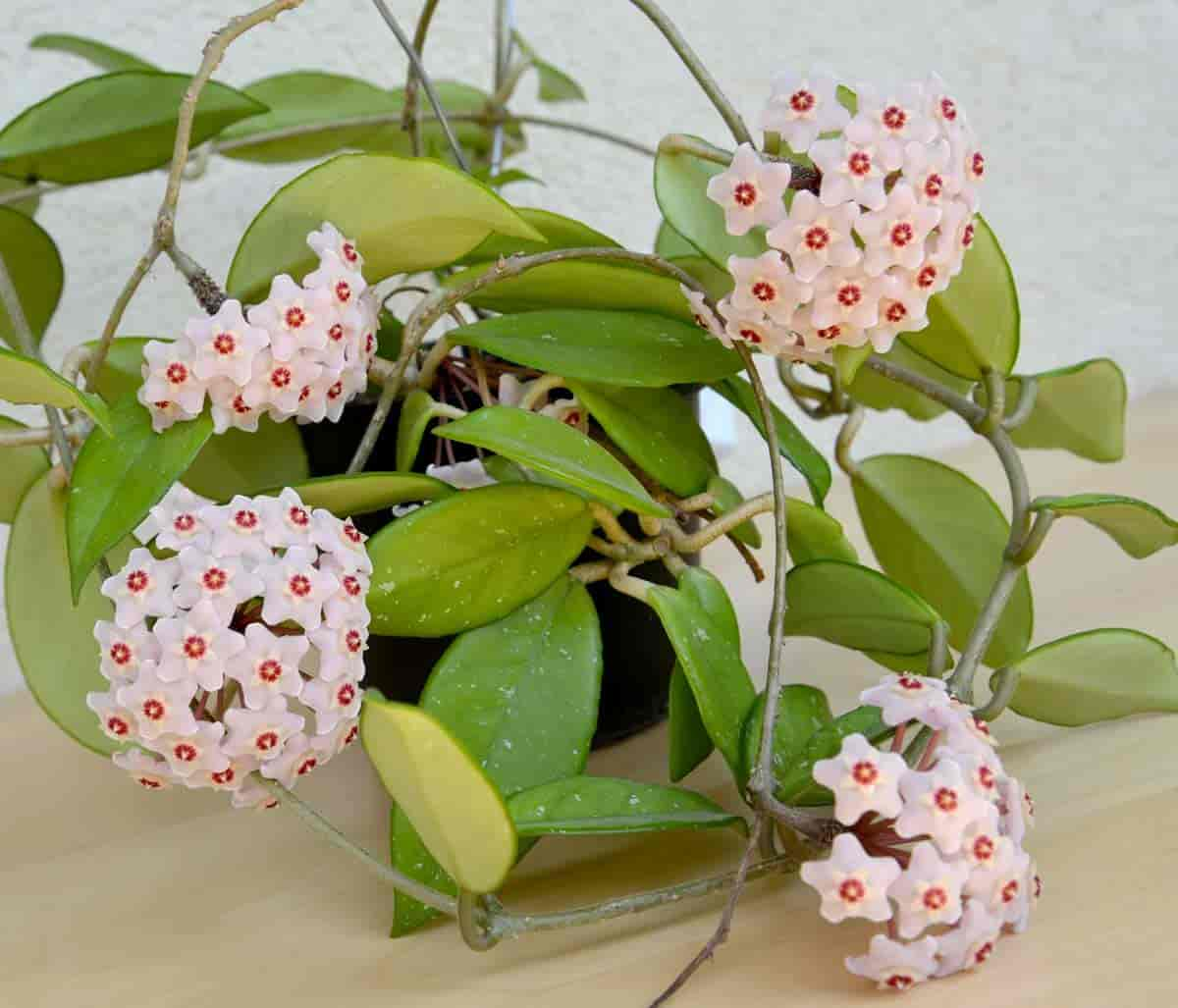 basket of flowering Hoya carnosa with blooms
