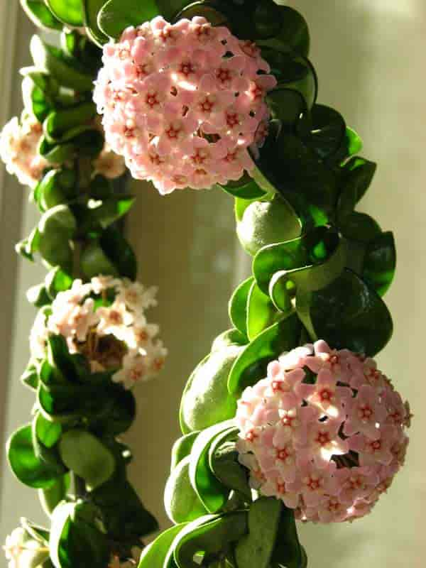 "Hoya ""compacta"" blooming and growing on a wire hoop"