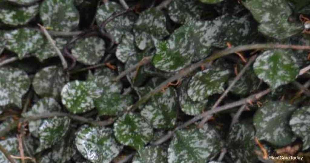 Attractive leaves of the Hoya Curtisii (Fung Wax Flower)