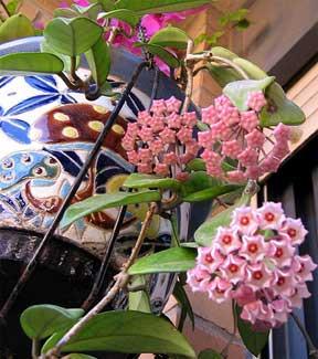 hoya-flower