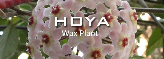 hoya-plant-550