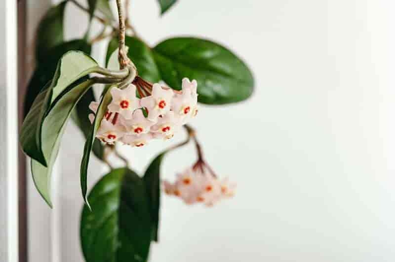 hoya plant in flower