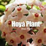 Hoya Plant: How To Care For The Wax Plant