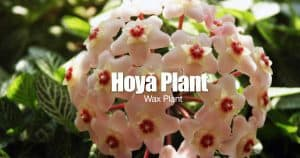 blooms of the hoya carnosa