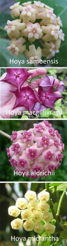 hoya-species