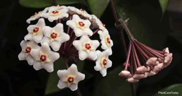 Porcelain flowers of the Hoya