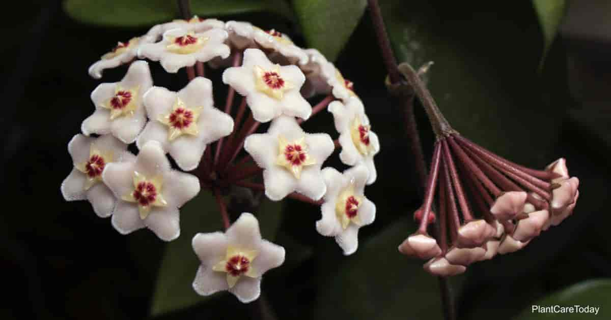 Porcelain flowers of the Hoya