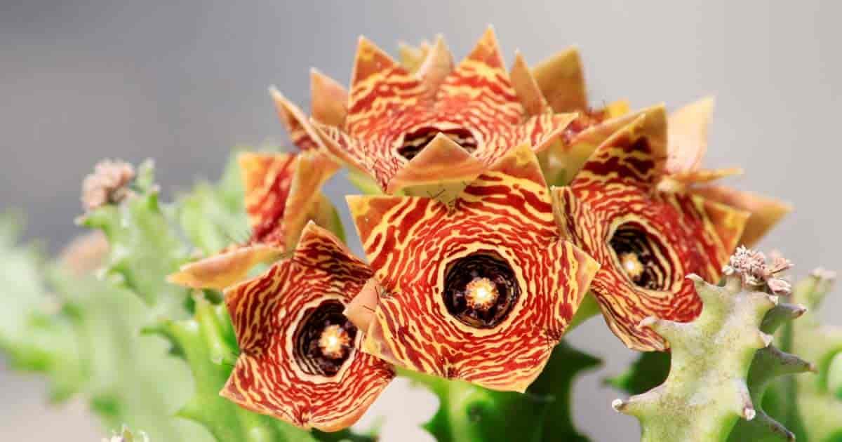 Flowers of Huernia succulent planl