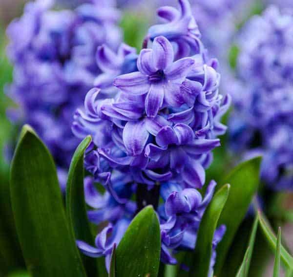Blue Hyacinth Flower