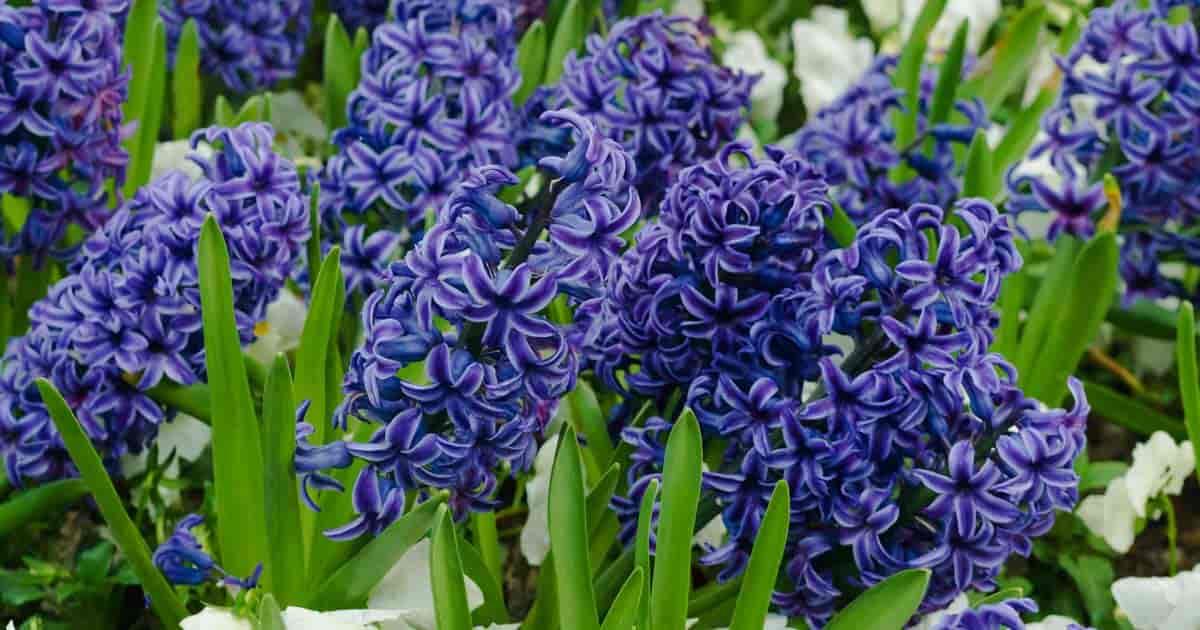 Flower bed of blooming Hyacinthus orientalist in full vibrant blooms of deep purple blue
