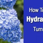 How To Make Hydrangeas Turn Blue