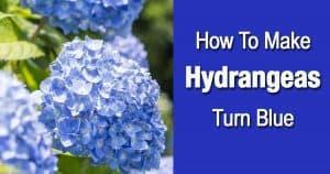 turning Hydrangeas blue