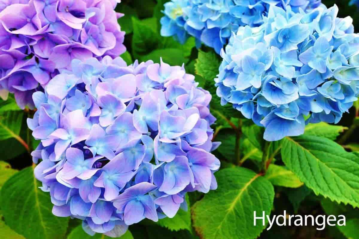 hydrangea plant care guide - colorful blooms of white, pink, rose and blue