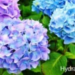 Hydrangea Care Guide: How To Grow The Hydrangea Plant
