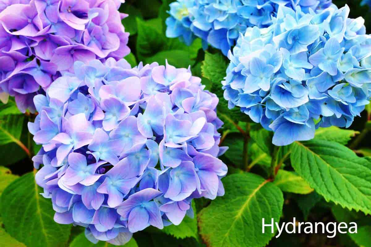 bloms of the Hydrangea plant
