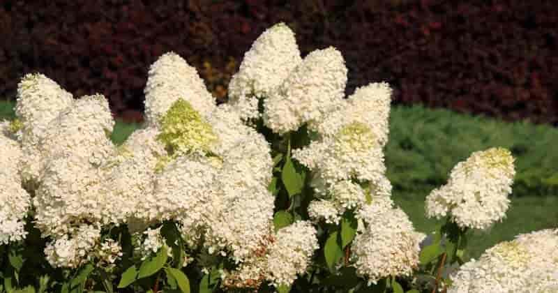 Blooming Hydrangea paniculata
