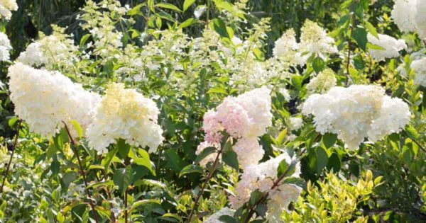 Flowering PeeGee Hydrangea