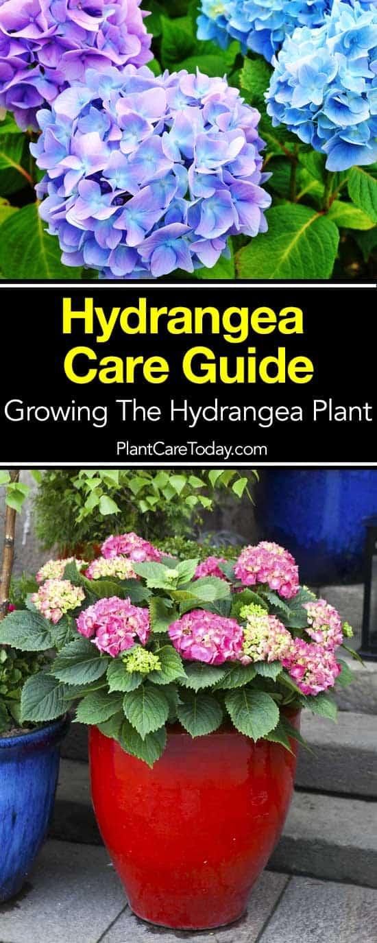 Hydrangea care guide how to grow the hydrangea plant - Caring hydrangea garden ...