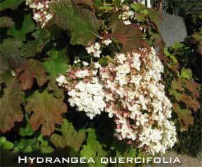 hydrangea-quercifolia-288