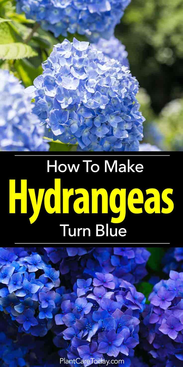 tips for turning or making a blue hydrangea